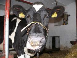 Ważna informacja dla hodowców bydła!